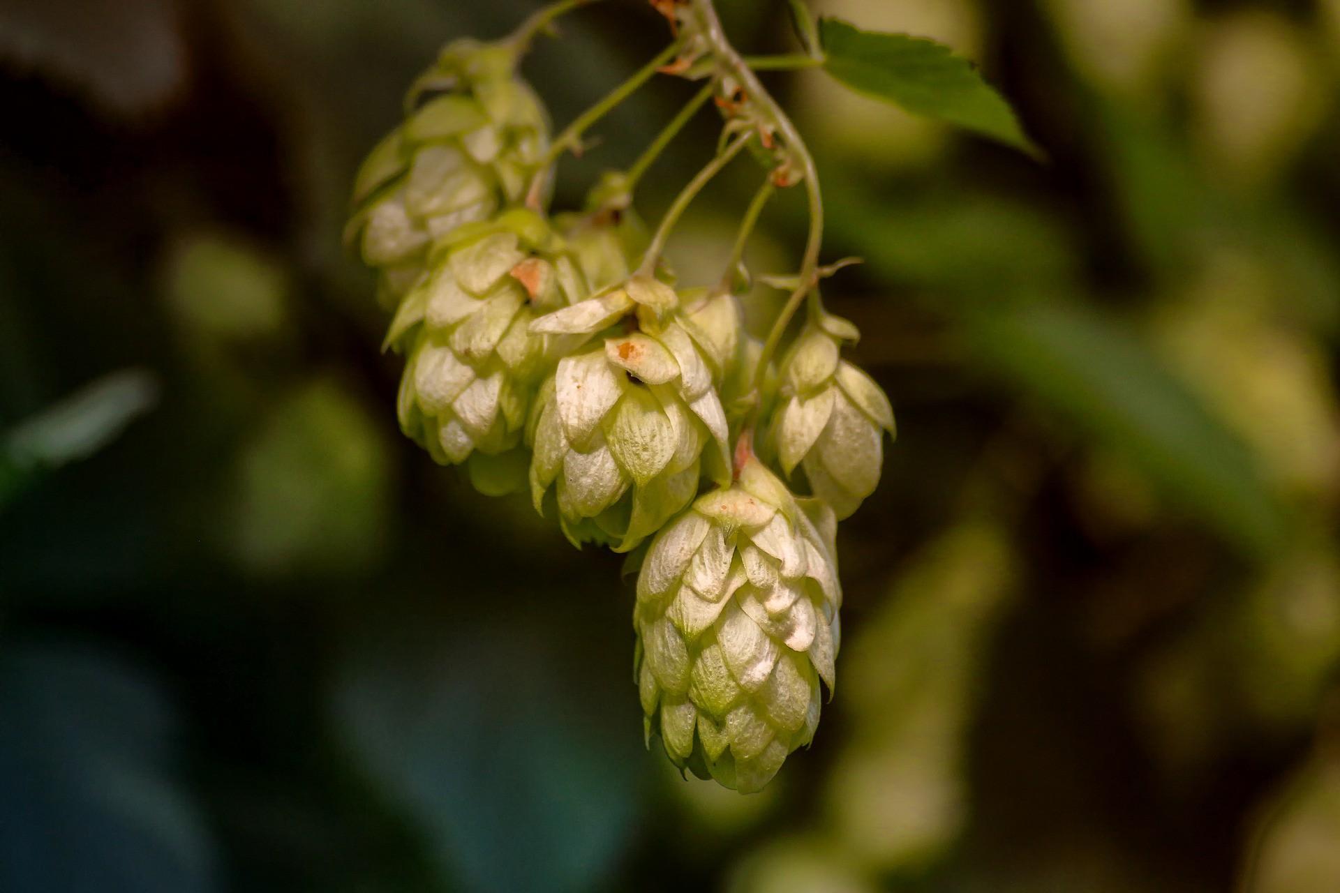 Zielone złoto – hodowla chmielu w Polsce