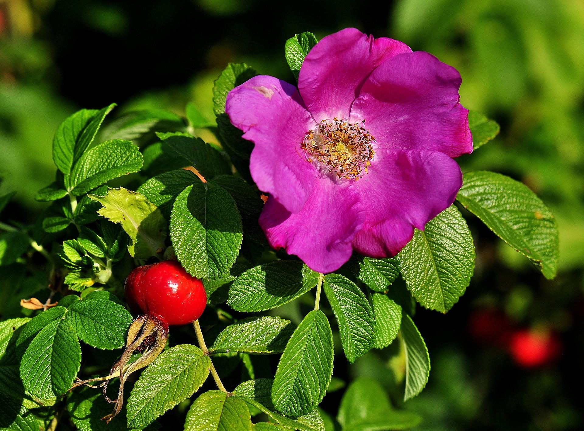 Jak zrobić nalewkę z płatków róży czyli nalewka różana - przepis