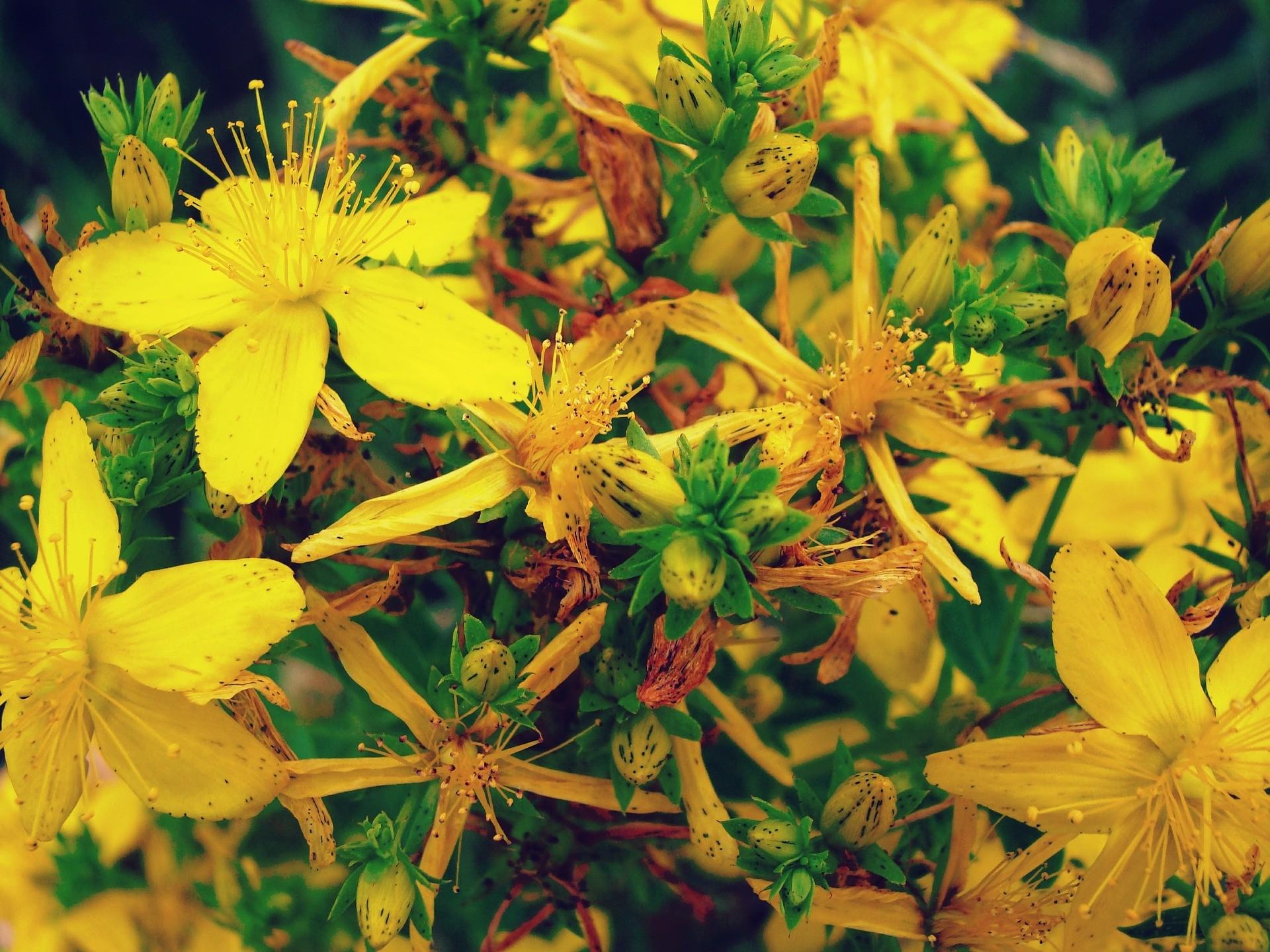 Nalewka z kwiatów dziurawca